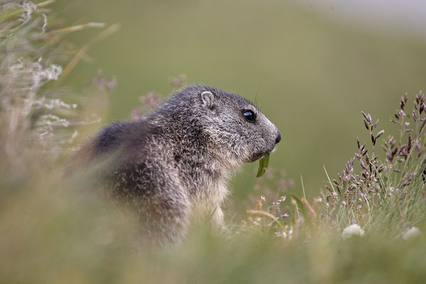 Alpenmurmeltier,Marmota,Marmot 0060