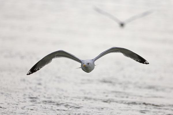 Silbermoewe Larus argentatus herring gull 0010