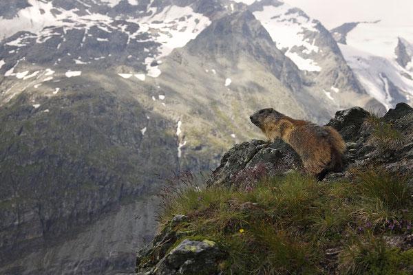 Alpenmurmeltier,Marmota,Marmot 0010