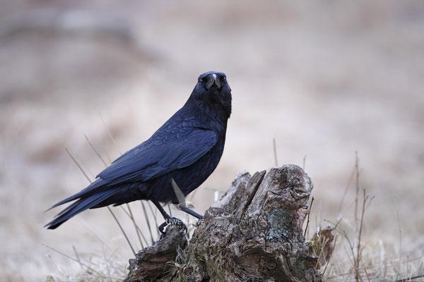 Rabenkraehe Corvus corone corone Carrion Crow 0005