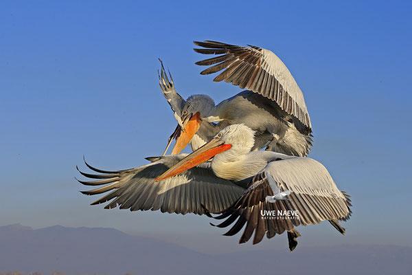 Krauskopfpelikan,Dalmatien pelican,pelecanus crispus 0069