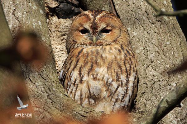 Waldkauz,Strix aluco,Tawny Owl 0035