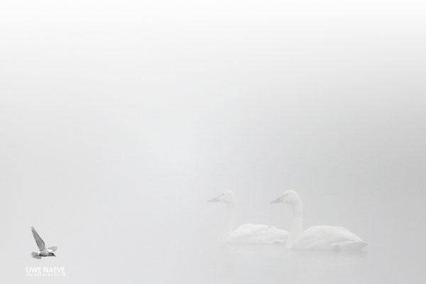 Zwergschwaene,Cygnus bewickii,Bewicks Swan 0050