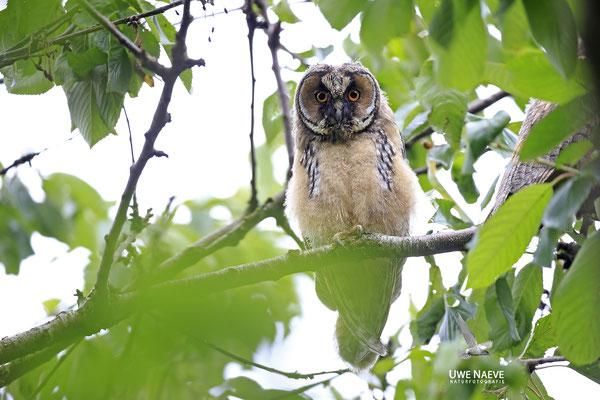 Waldohreule,Asio otus,Long-eared Owl 0036