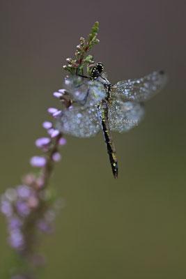 Schwarze Heidelibelle Weibchen Sympetrum danae 0025