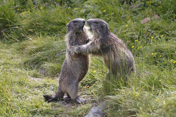 Alpenmurmeltier,Marmota,Marmot 0023