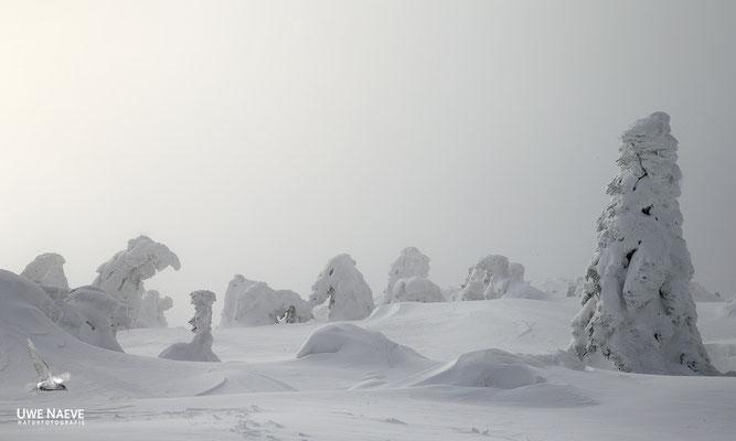 Harz, Brocken,Fichtenwald im Winter 8875