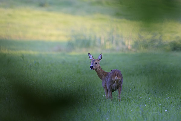 Reh,Ricke,Roe Deer doe,Capreolus capreolus 0218