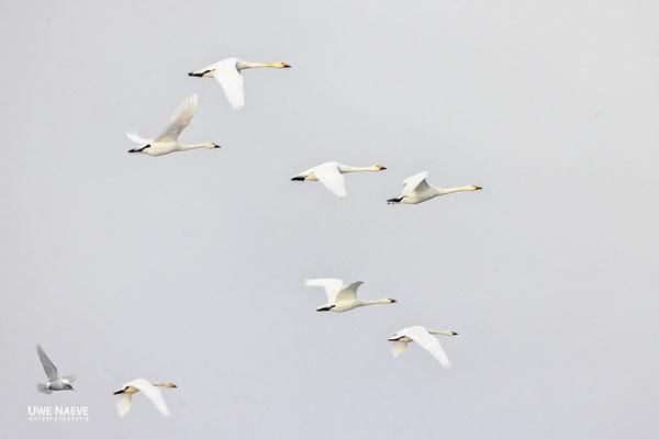 Zwergschwaene,Cygnus bewickii,Bewicks Swan 0089