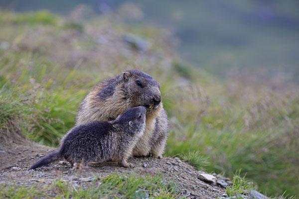 Alpenmurmeltier,Marmota,Marmot 0097