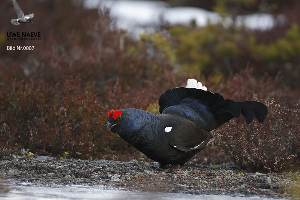 Birkhahn,Black Grouse,Male on courtship,Lyrurus tetrix,Tetrao tetrix