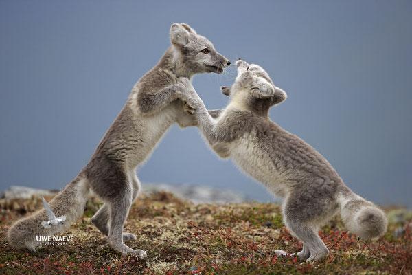 Polarfuchs,Eisfuchs,Arctic Foxes,Alopex lagopus,Vulpex lagopus 0100