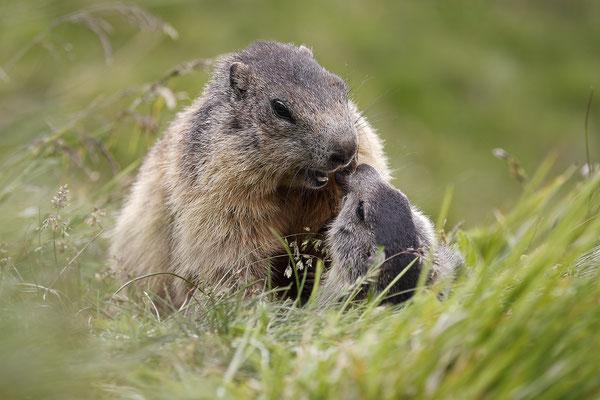 Alpenmurmeltier,Marmota,Marmot 0058