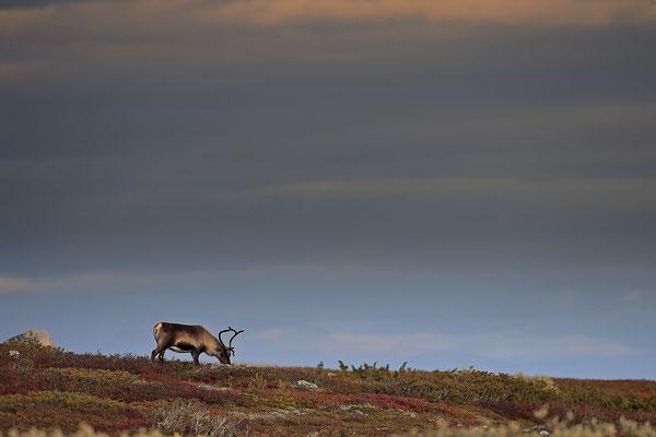 Ren Rentier Rangifer tarandus Reindeer 0117