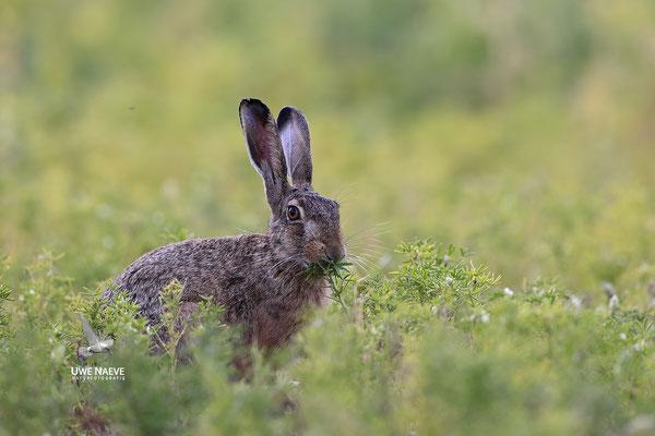 Feldhase Brown Hare Lepus europanus 0056