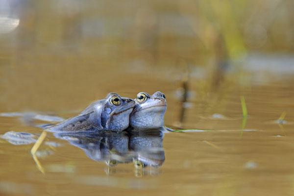 Moorfrosch rana arvalis moor frog 0005