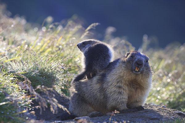 Alpenmurmeltier,Marmota,Marmot 0085
