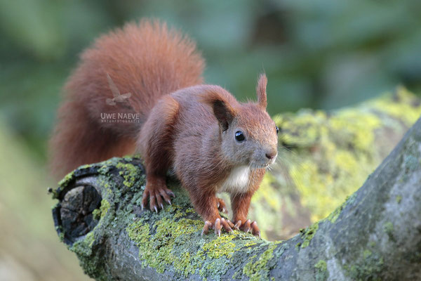 Eichhoernchen,Sciurus vulgaris,Red Squirrel 0002