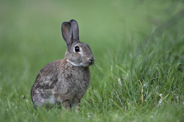 Wildkaninchen,Europan Rabbit,Orycolagus cuniculus 0002