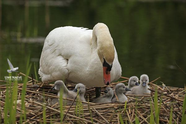 Hoeckerschwan,Mute Swan,Cygnus olor 0040