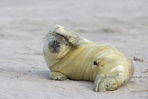 Kegelrobbe,Grey Seal,Halichoerus grypus 0171