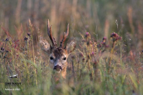 Rehbock Capreolus capreolus Roe Deer buck 0060