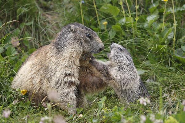 Alpenmurmeltier,Marmota,Marmot 0065