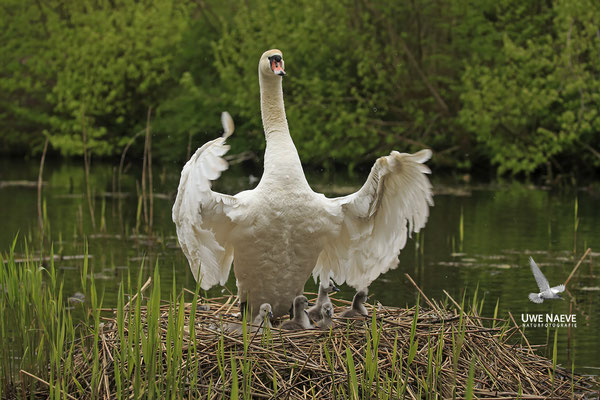 Hoeckerschwan,Mute Swan,Cygnus olor 0046