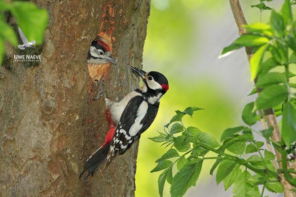 Buntspecht,Great Spotted Woodpecker,Dendrocopos mayor 0058