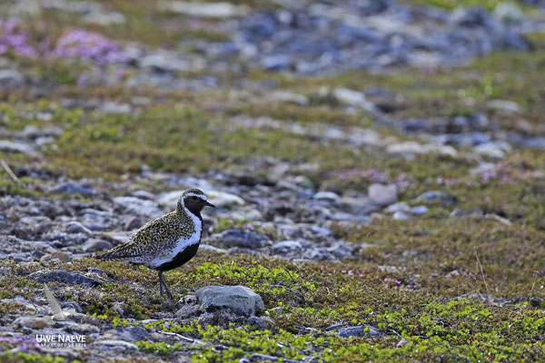 Goldregenpfeifer Pluvialis apricaria European Golden Plover 0008
