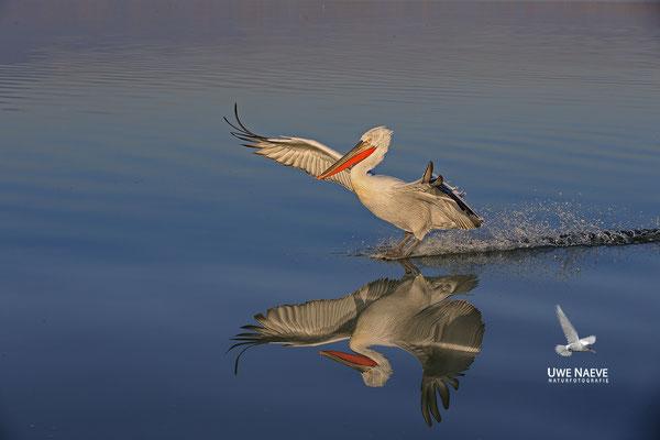 Krauskopfpelikan,Dalmatien pelican,pelecanus crispus 0098