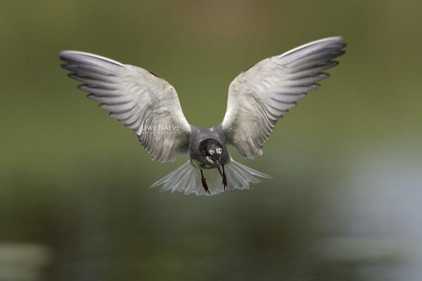 Trauerseeschwalbe,Black Tern,Chlidonias niger 0025