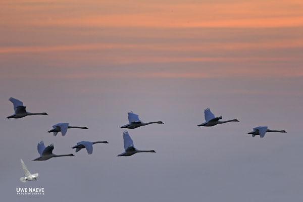 Hoeckerschwan,Mute Swan,Cygnus olor 0022