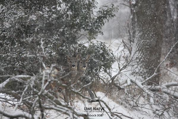Rehbock und Reh,Roe Deer buck and Roe Deer doe Capreolus capreolus 0087