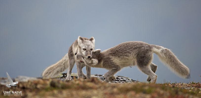 Polarfuchs,Eisfuchs,Arctic Foxes,Alopex lagopus,Vulpex lagopus 0096