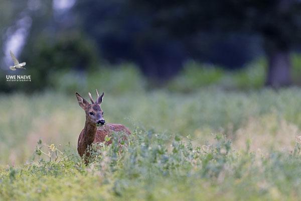 Rehbock,Capreolus capreolus,Roe Deer buck 0248