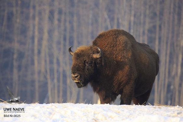 Wisentbulle,Bison bonasus,European Bison 0025