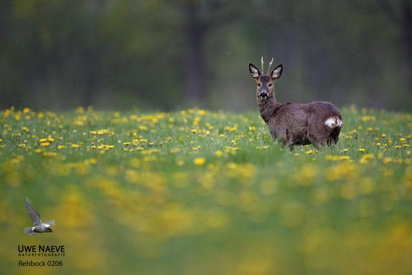 Rehbock Capreolus capreolus Roe Deer buck 0206