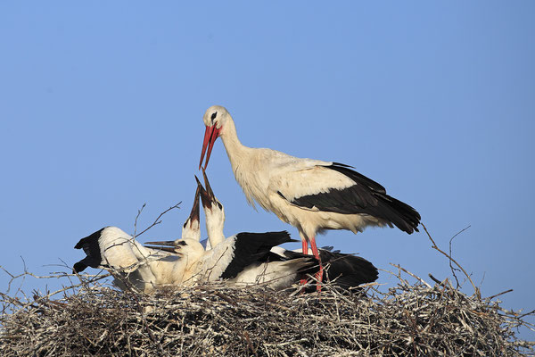 Weissstorch,White Stork,Ciconia ciconia 0087