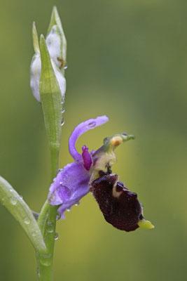 Durance-Hummel-Ragwurz Ophrys druentica 0005