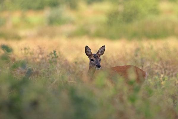 Reh,Ricke,Roe Deer doe,Capreolus capreolus 0224
