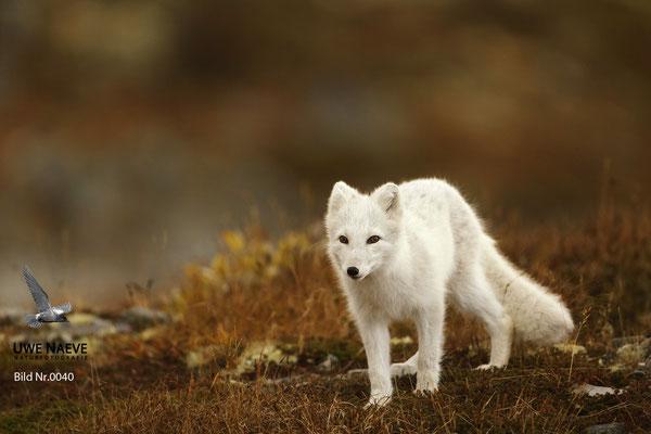 Polarfuchs,Eisfuchs,Arctic Foxes,Alopex lagopus,Vulpex lagopus 0040