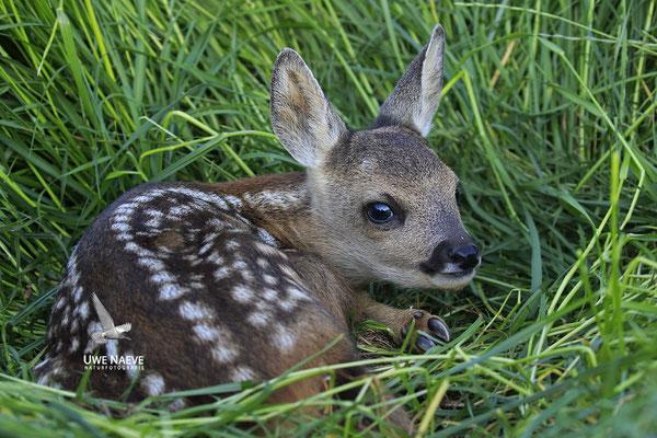 Rehkitz,Roe Deer fawn,Capreolus capreolus 0101