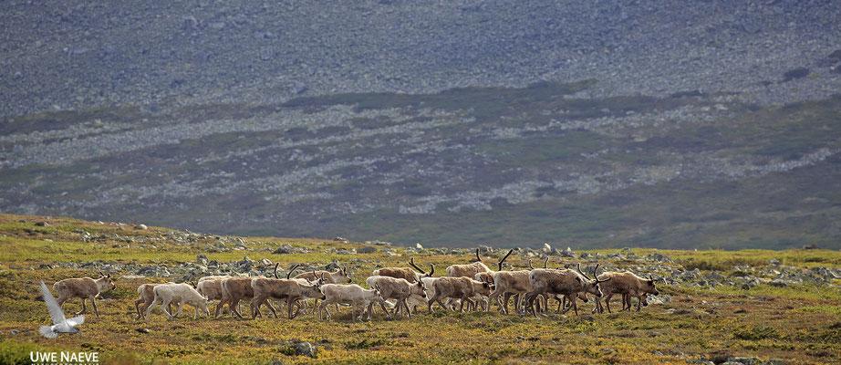 Ren Rentier Rangifer tarandus Reindeer 0110