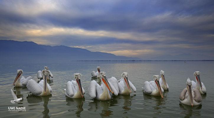 Krauskopfpelikan,Dalmatien pelican,pelecanus crispus 0007
