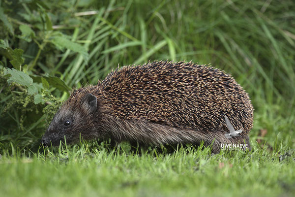 Europaeischer Igel,European Hedgehog,Erinaceus europeas 0006