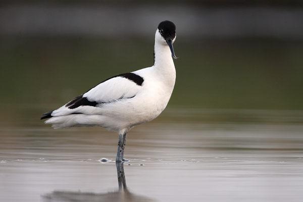 Säbelschnäbler,Recurvirostra avosetta,Avocet 17