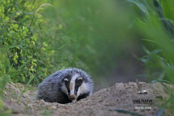 Dachs European Badger Meles meles 0004
