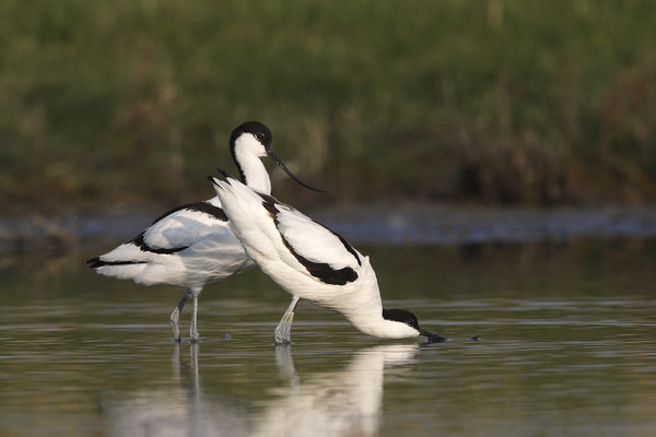 Säbelschnäbler,Recurvirostra avosetta,Avocet 29
