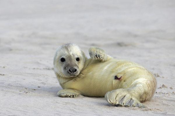 Kegelrobbe,Grey Seal,Halichoerus grypus 0172